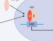 Ischemie en reperfusieschade bij niertransplantatie en de effecten van volatiele anesthetica
